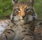 Rys ostrovid wikipedia - Lynx lynx