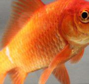 zlatý karas zlatá rybka