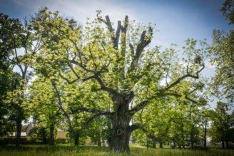 ořešák Kvasice Strom roku 2017
