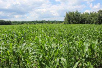 pole - kukuřice - IMG_8912