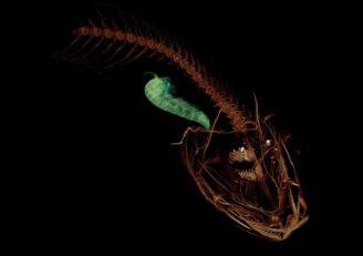 ryba z hloubky 8 kilometrů osel