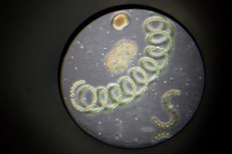 řasa mikroskop