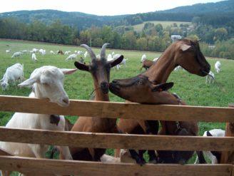 Farma roku - kozy FR03