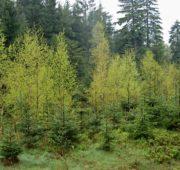 VÚLHM meliorační dřeviny