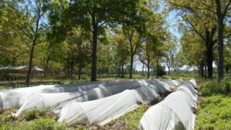 agrolesnictví - liniová výsadba ořešáků s pěstováním zeleniny