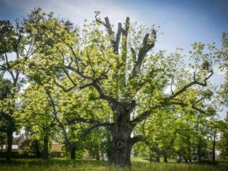 ořešák černý Kvasnice strom roku