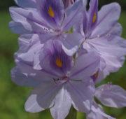 vodní hyacint - zdroj Wikimedia Commons