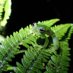 Rosněnka středoamerická žába autor Douglas Woodhams