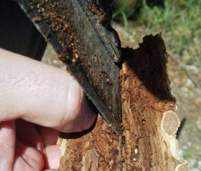 kůrovec Lesy ČR