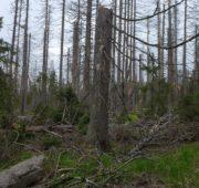 les sucho poškozené stromy - P1060519