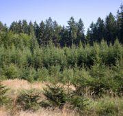 les - mladý porost smrk - IMG_5909