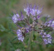 včela - květina - svazenka - IMG_1056