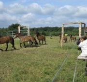 NP Podyjí koně z exmooru